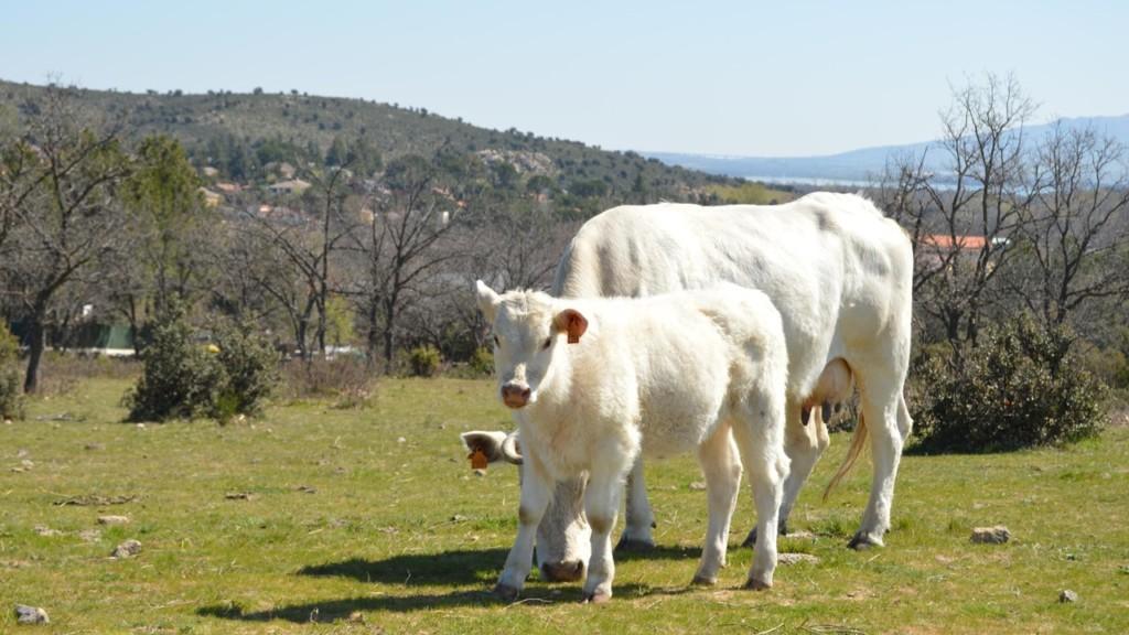 carne ternera sin antibioticos