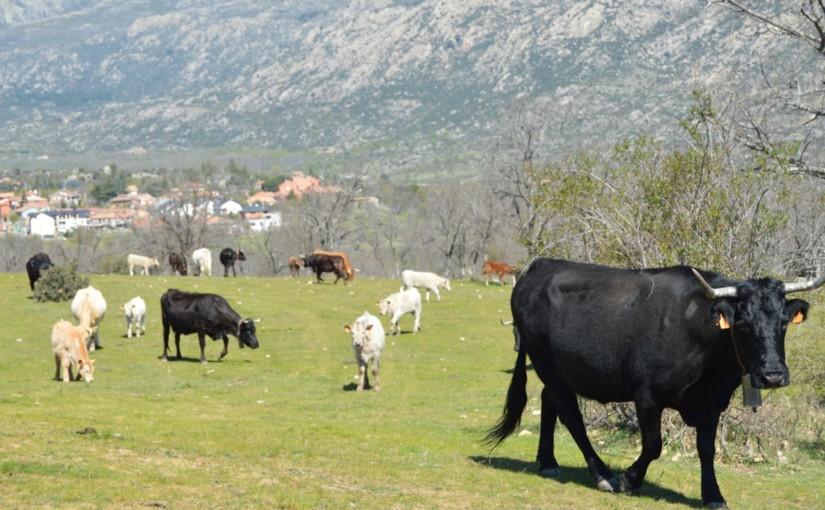 Nuestra carne de ternera de pasto 100% sin antibióticos